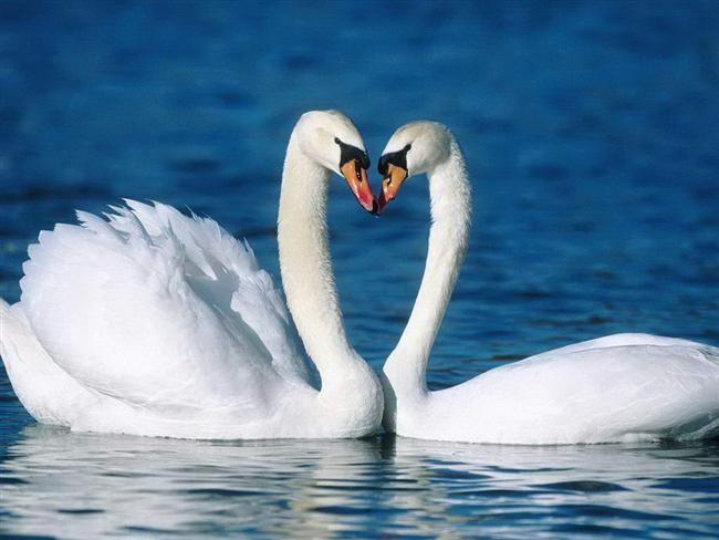 12. Kuğular   Kuğular tek eşlidir, birbirlerine ölene dek bağlı kalırlar.