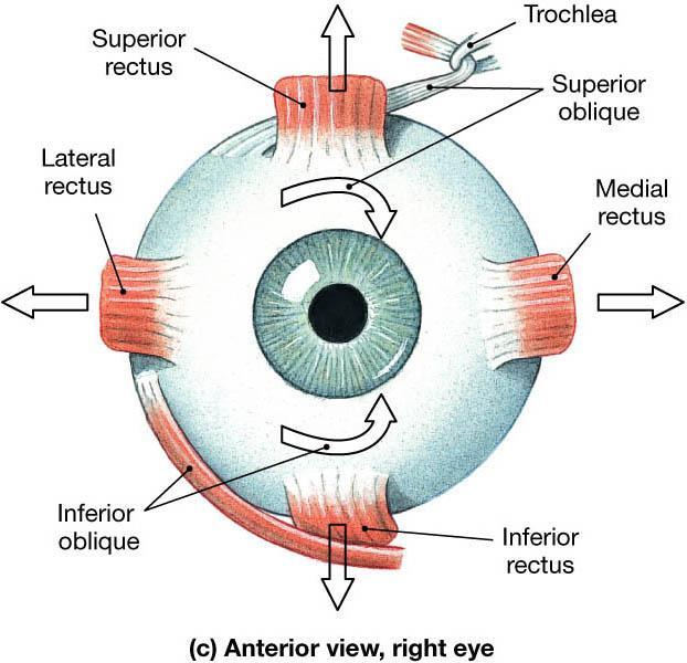 15. Göz kırpmak son derece önemli bir göz işlevidir  Göz kırpmak göz yaşını gözün tamamına dağıtarak göz yüzeyindeki kiri temizlemeye yardımcı olur. Gözyaşı gözü nemlendirmeye ve kayganlaştırmaya yardımcı olur ve ayrıca önemli anti-bakteriyel özelliklere sahiptir.