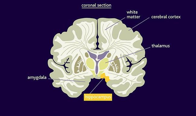 11. Beynin %60'lık kısmını oluşturan ak madde, elektriksel mesajların iletilme hızını arttıran miyelin (sinir iplikciği yağı) maddesinden dolayı 'ak' olarak isimlendirilmiş.