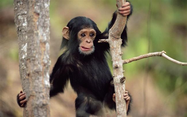 Maymun   Genel Özellikleri : Zeki, Uyumlu, Hilebaz, Becerikli, Açıkgöz, Büyüleyici.   Bu insanların en dikkat çekici özellikleri cazibeleridir. Hemen hemen herkesin dikkatini çekerler ve sevilirler. İlk bakışta bunların etkisinde kalmayanlar bile sonunda pes etmeye mahkumdur. Bu durum kadın veya erkek maymun yılında doğan kişi tarafından baştan çıkartılanlar için doğrudur. Öyle büyüleyici güçleri vardır ki, çaba harcadıklarında elde etmeyecekleri pek az insan vardır.  Maymun yılında doğan çok nüktedandır. Hazırcevaptır ve özgün fikirler yaratırlar. Çok çabuk öğrenirler ve her duruma hemen uyum sağlayabilirler. Bunun yanında çok şeytanca davranışlar da görülebilir. Gerçeği kolayca saptırıp hedeflerine ulaşmaya çalışırlar. Bunların içlerinden çok zeki ve usta dolandırıcılar çıkabilir.   Bu kişiler herkes ile iyi geçinebilir. Fakat uzun süreli beraberlik kuracağı insanı bulmakta zorlanabilir. Eğer aradığını bulursa mükemmel bir hayat arkadaşı olur. Maymun yılında doğanlar ile Kaplan yılında doğanlar anlaşamazlar. İki Maymun yılında doğan birbirlerini tamamladıkları zaman uyumlu çift olurlar.