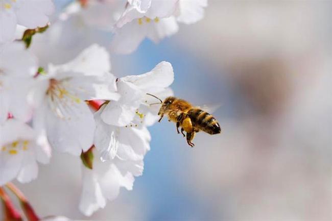 12. Bal Arısı  İşçi arılar için, kraliçe arılara özel seçilen seks işçileri desek yalan olmaz. Fakat bu işi canlarıyla ödemeleri de biraz üzücü. Kraliçe arılar yaşamları boyunca sadece bir kere döllenirler -tüm kovan tarafından- ve bu olay sonucunda yaklaşık 400 bin spermi ölene kadar taşırlar. Bunu sağlayabilme kısmı ise acıklı, kraliçe arılar çiftleşirken işçi arıların cinsel organlarını koparan bir yapıdadır, bu sebeple işçi arılar çifleştikten sonra ölür.