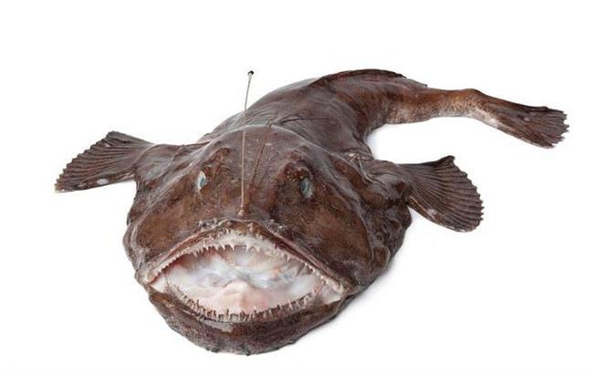 13. Fener Balığı  Dişi fener balığının yaydığı kokuya ve ışığa gelen erkek fener balıkları, dişiyi ısırarak onlara yapışırlar ve kan dolaşımlarını dişininkiyle birleştirdikleri için dişinin asalakları haline gelirler. Bu aşamada erkek fener balıkları dişiyle füzyona girmeleri yüzünden gözlerini ve tüm iç organlarını yitirirler. Yani sadece sperm iletebilen bir organ haline gelmiş olurlar ve dişinin bu erkeklerle yapacak bir işi kalmadığı için erkekler zamanla eriyip ölür.