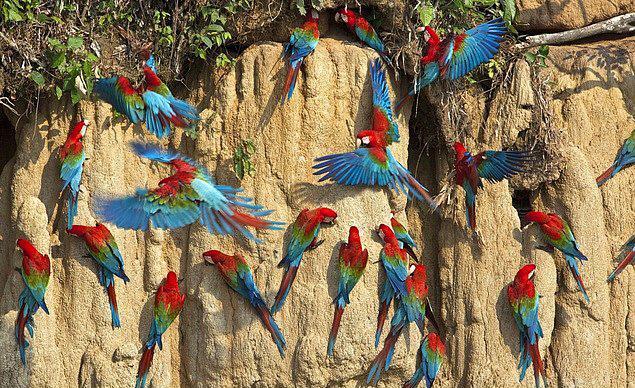 Tahuamanú Yağmur Ormanı, Peru  Maun ağacının en çok bulunduğu yağmur ormanı, ayrıca dev Armadillo, papağan ve jaguar gibi birçok hayvan türüne ev sahipliği de yapan bu ormanlar kaçak kesimler yüzünden yok olmak üzere. Bölgedeki altın madenlerinin suları kirletmesi ise bir başka etmen.