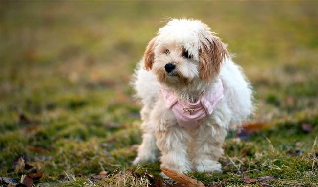 Oğlak köpeği  Bu köpeklere tam anlamıyla efendi diyebiliriz. Koyduğunuz kuralları asla çiğnemez. Sizi dinler. Gazetenizi, terliklerinizi getirir. Biraz uğraşırsanız bakkala bile gönderebilirsiniz. Sakindir.  Biraz huzursuz bir yapısı vardır. Olur olmadık yerde korkabilir. Onlara bol bol vitamin verin, açık havaya çıkartın. Çabuk hastalanabilir.