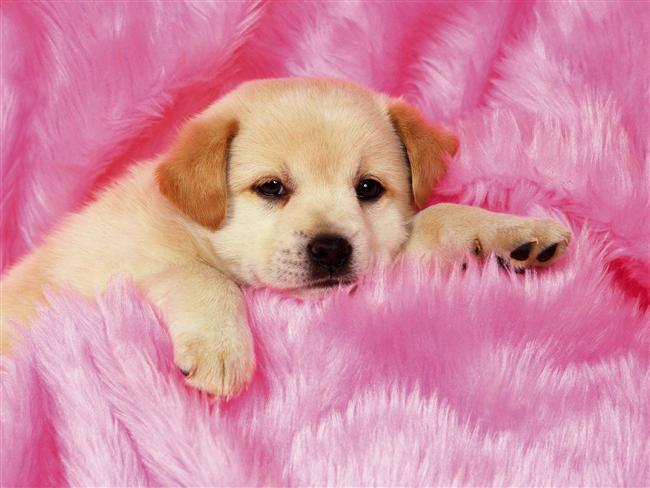 Aslan köpeği  Aslan köpeği azarlanmaktan, horlanmaktan nefret eder. Yaptığı herşey karşısında aferin işitmekten hoşlanır. Eşiniz, dostunuzla onunla ilgili konuştuğunuzda kulak kesilir.  Gezdirmeye çıktığınız zaman her an size zarar verecek birileri varmışcasına sağa sola havlar. Bol iştahlıdır. Doymak nedir bilmez.