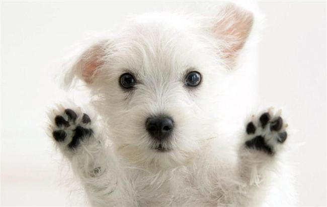 Terazi köpeği  Bu köpeklerin en büyük beklentisi sükunettir. ayet evde bağıra-çağıra konuşuyorsanız bir olay varmış gibi havlamaya bağlar, huzursuz olur. Yıkanmaktan hoşlanır.  Sizin yatak odanızda uyumak ister. Kendisini ailenin bir ferdi olarak görür. Ailece dışarı çıkıp da onu evde bırakırsanız perişan olur. Onunla birlikte bir kedi veya başka hayvanları evinize alabilirsiniz. Düşünülenin aksine mutlu olur.