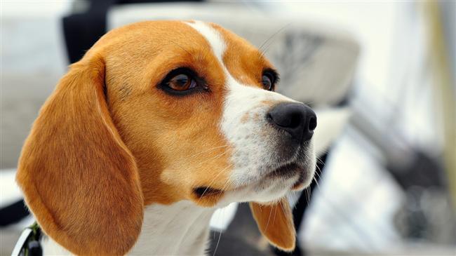 Akrep köpeği  Bu köpeklerin hafızası çok gelişmiştir. Zamanında ona kötü davranmış birini asla unutmaz. Mesela sizden önce başka birinin köpeği ise ve horlanmışsa bu kişiyi gördüyü yerde ısırabilir veya kaçar.  Onlara karşı sevecen olduğunuz sürece size diğer köpeklerden çok daha fazla bağlanır. İştahları çok yerinde olur. Ne bulursa yiyebilir. Yemek vakitlerini sakın geçirmeyin, ayakkabınızın tekini parçalanmış bulabilirsiniz.