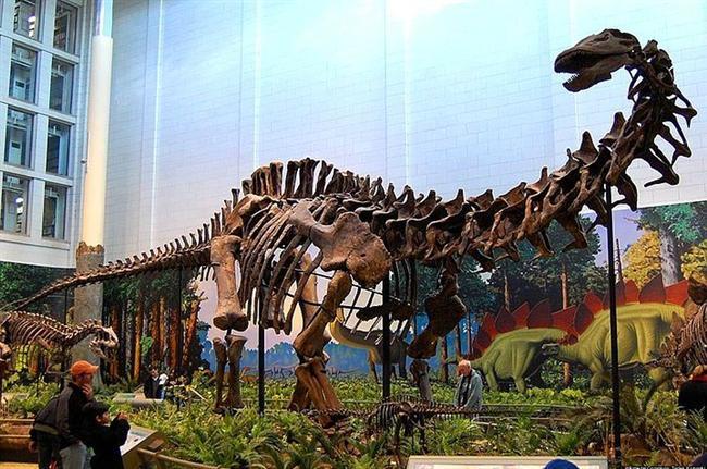 Brontosaurus gerçekten vardı  Hufftington Post'ta denildiği gibi uzun bir süre Brontosaurus'un varolmadığı sanıldı. 1903 yılında bu hayvanı ilk tespit eden O. C. Marsh Apatosaurus kemiklerini yanlış yorumlamış ve bunların başka bir hayvana ait kemikler olduğu sonucuna varmıştı. Nisan 2015 tarihinde iş değişti. Yeni Lizbon Üniversitesi'nde 81 kemik üzerinde yapılan çalışmalar bu kemiklerin Apatosaurus'tan farklı bir hayvana işaret ettiğini gösterecek bulguları taşıyordu. Yani Brontosaurus gerçekten vardı. O. C. Marsh haklı çıkmıştı. Adamcağızla yıllarca dalga geçenler de gerçekten utanmalıydı.