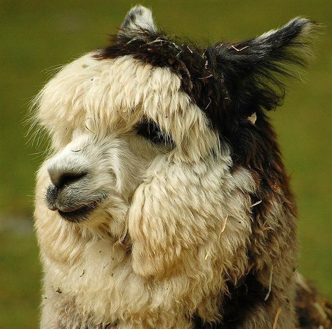 Lamalar  Keçi, koyun, inek ve hatta tavşan bizim için neyse alpaca, lama, guanaco ve huarizo Güney Amerikalılar, buffalo da Kuzey Amerikalılar için o. Hem de yüzlerce yıldır.