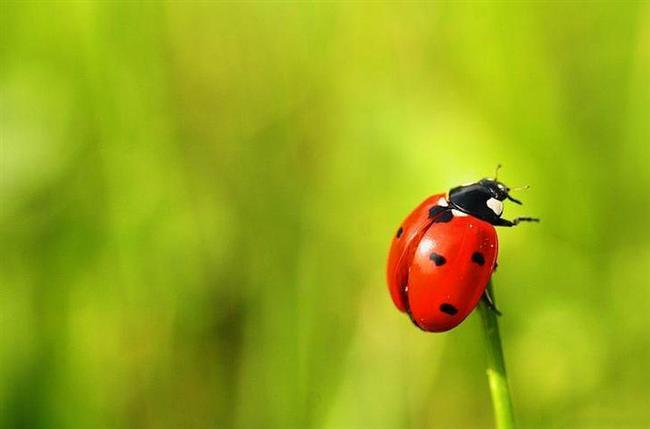 Uğur Böceği  Böceğin uğuruyla ilgili şöyle bir rivayet var. Zamanın birinde bahçeleri zararlı böcekler istila etmiş. İnsanlar çaresizlik içinde zararlılarla nasıl mücadele edeceğini bilemezken uğur böcekleri ortaya çıkıvermiş. Bitkilere musallat olan ne kadar zararlı varsa hepsini yiyerek yok etmişler. İnsanlık o günden sonra bu böceği uğurlu kabul etmiş.  Uğur böceklerinin birçok tarım ürününe zarar veren yaprakbitlerini yiyerek beslendiği ve yaşamları boyunca yaklaşık 5000 yaprakbiti yediğini söylüyor kaynaklar.  Rivayet doğru olsun olmasın insanlığa bu kadar faydası olan bir böcek zaten uğurlu sayılmaz mı?
