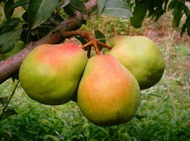 Deveci Armudu  Meyveciliğe özel bir ilgisi olan Deveci ailesinin gebze yakınlarında yine kendi adları ile anılan çiftliklerinde ürettikleri ülkenin ilk deneysel meyvesi.