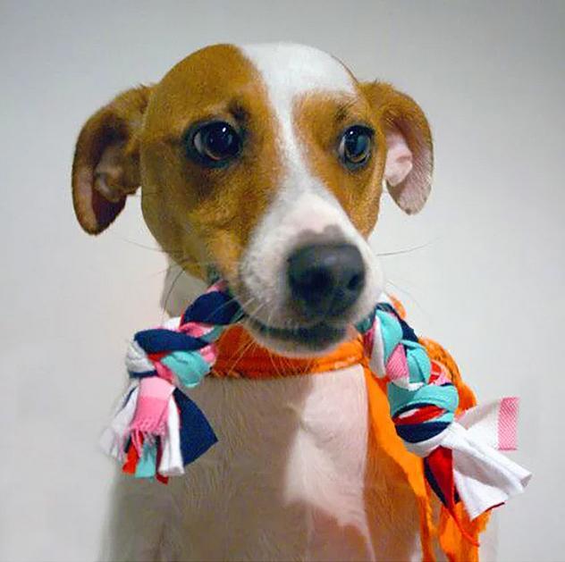 Minik dostunuzun bir oyuncağa ihtiyacı var ise, pet shop'tan almak yerine ona kendiniz bir oyuncak yapabilirsiniz.  Eski tişörtlerinizden şeritler kesip örgüler yapın. Yaptığınız birkaç örgüyü birbirine bağlayın.