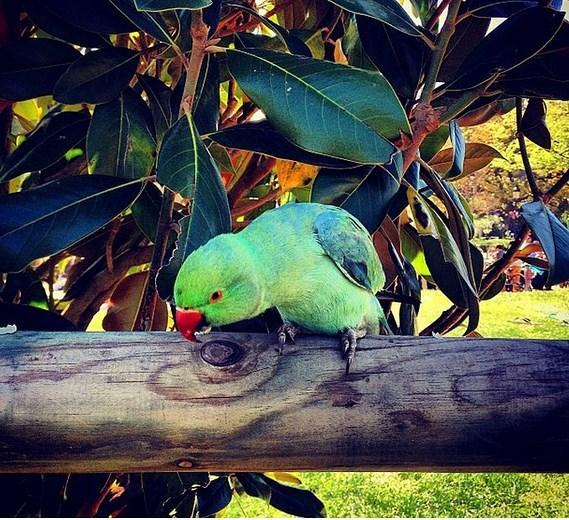 Dünya tatlısı keşiş papağanlarına şehrin hemen her yerinde rastlayabilirsiniz.