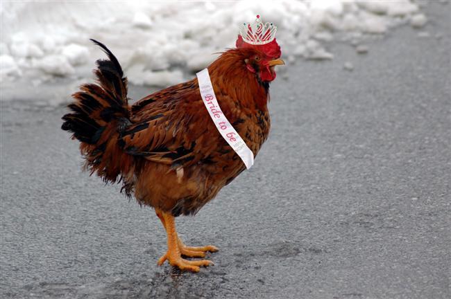 Kırklareli: Kırklareli'nde düğün günü erkek tarafı kız evine gelin almaya gittiğinde yanında canlı tavuk götürür ve gelinin evine/bahçesine bırakır.