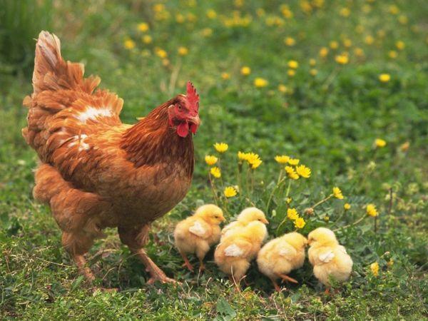 Gelinin ailesi evlerinden bir can çıktığını düşünerek yerine bir can gelmesini (tavuk) ister.