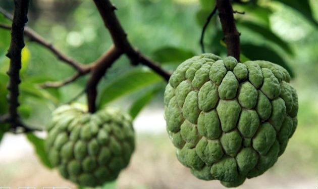 Hint Ayvası  Tropikal bölgelerde yetişen Hint ayvası, C vitamini bakımından oldukça yüksek, kilo vermeye yardımcı, lezzetli bir meyve. Ülkemizde Antalya ve Alanya civarında yetişen bu meyve bazı manavlarda ve internette bulunabiliyor. İçerdiği farklı türlerdeki B vitamini, doğal antidepresan görevi görüyor ve astım hastalarının özellikle tüketmesi tavsiye ediliyor.