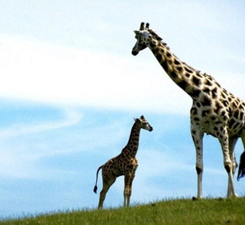 Zürafalar yüzemez.