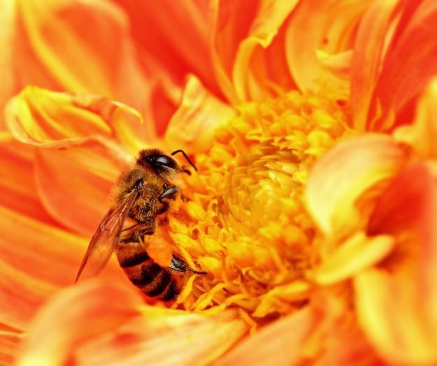 Yarım kilo bal yapabilmek için arılar iki milyondan fazla çiçekten bitki özü toplamak zorundadırlar.