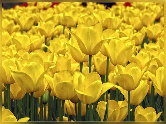 SARI:   Parlak limon sarısı gözü en çok yoran renktir. Aynı zamanda sarı renk metabolizmayı hızlandırır.Odanızı parlak sarıya boyarsanız bebeklerin ağlamasına ve erişkinlerin sinirlenmelerine yol açarsınız. Ayrıca sarı sayfalı not defteri ve bilgisayar ekranında sarı renkli arka fon pek iyi bir fikir degildir.Beyninizi ve gözlerinizi yorar. Sarı, az miktarlarda kullanıldığında parlaklık ve sıcaklık hissi verir. Soluk sarı söz konusu olduğunda, çürümeyi, hastalığı, kıskançlığı ve hilekarlığı simgeler. Sarı rengi tercih edenlerin kişilik analizinde, bu kişilerin özgür ve bağımsız olmayı sevdikleri ortaya çıkmıştır.Değişkenlikten hoşlanırlar. Bu kişilerin ikna kabiliyetleri üst düzeydedir. Entellektüel olma, yöneticilik, hırs ve iddia onun temel öğeleridir.
