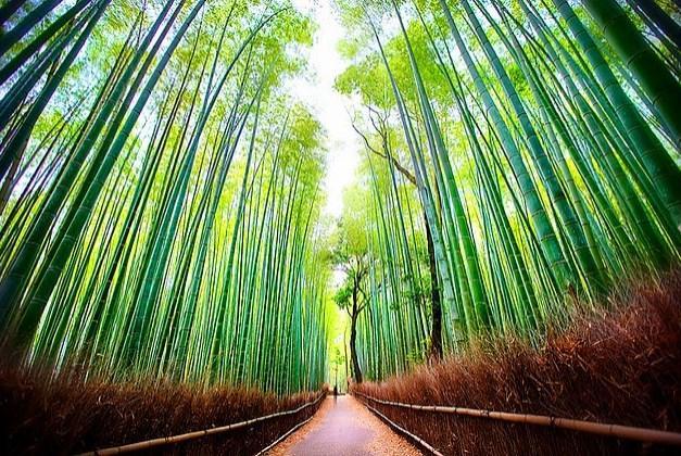 Arashiyama Bambu Ormanları'nda bambudan çok insan vardır.
