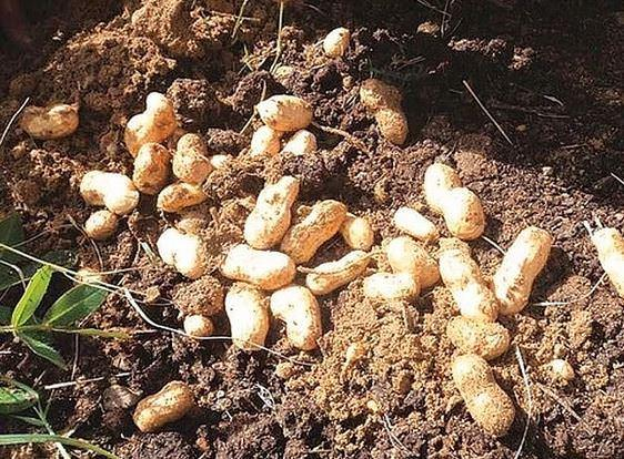 Yer fıstığı aslında bir baklagildir ve toprağın altında büyür.
