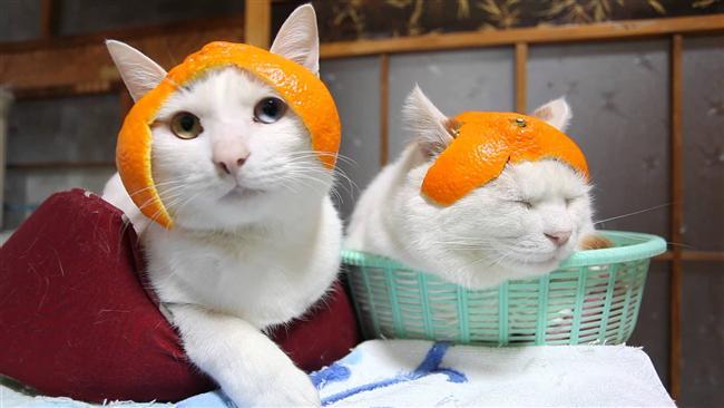 Turunçgiller  İçerdikleri asidik bileşenler kedilerin sindirim sistemi için uygun değildir. Tüketilmesi özellikle böbrekleri ciddi anlamda sorunlara yol açar.