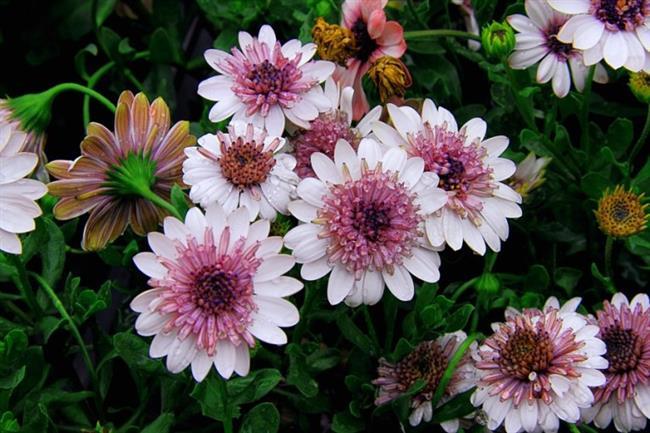 Gerbera Çiçeği  Gerbera çiçeğini yetiştirmek için en verimli alan bahçelerdir. Gerçek toprakta yetişmesi bu çiçeğin ömrünü uzatan en önemli faktördür. Aynı zamanda güneş isteği çok fazla olan bir çiçek türüdür. Toprak seçerken suyu iyi süzen bir toprak olmasına dikkat edilmelidir. Toprak kurumadan su verilmemeli çünkü kökü ıslak toprakta kolayca çürür.Eğer bu çiçek ev ortamında bir saksı içerisinde yetiştirilecekse, iyi güneş alan bir yerde olmalıdır. Gerbera çiçeği için 18-20 cm derinliğinde saksılar tercih edilmelidir. ayrıca toprak kapasitesi 4 litre kadar olmalıdır.