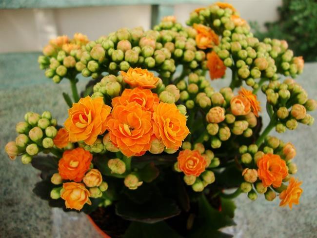 Kalanchoe Çiçeği  Kalanchoe'ların kırmızı, açık pembe, koyu pembe, sarı, turuncu, beyaz çiçekleri vardır. Aydınlık, havadar, hafif güneşli yerlerde bulundurulmalı ve sürekli yakıcı güneş ışığından korunmalıdır. Bünyesinde su tutabilmesi güçlü olup geceleri havadar ortam ister.