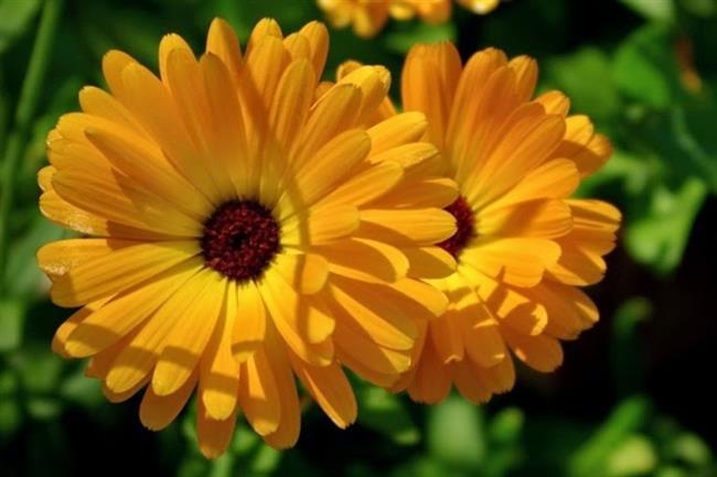 Aynı Safa Çiçeği  Narcissus tazetta bitkisidir. Nergis de denir. 20 - 80 cm arası yüksekliği olan soğanlı bir bitkidir. Dalları tüylüdür. Çiçekleri sarı - turuncu arası değişir. Çiçeklerinin bazıları tek kat, bazıları ise katmerli ve kat katdır. Şifa bakımından eş değerdedirler. Sap ve yaprakları etli ve yapışkandır. Çiçekçilerde bulunan bir süs bitkisidir. Sabah saat 7'den sonra hala çiçekleri açılmamışsa yağmur yağacak demektir.Sonbahar sonuna kadar ortalikta görünürler. Mevsimlik bir bahçe bitkisidir.