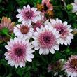 Sonbaharda Ekebileceğiniz Çiçekler! - 4
