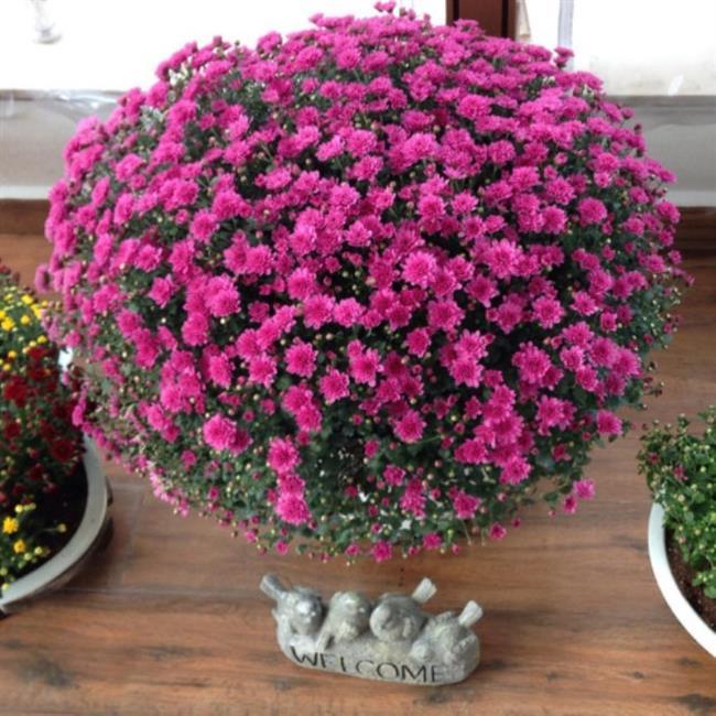 Yıldızpatı Çiçeği  Yıldızpatı çiçeği bir diğer adıyla 'Aster' olarak da bilinir. Yıldıpatı çiçeği, beyaz, pembe kırmızı ve açık mor renklerde yetişebilir. Çiçekleri zariftir ve yıldız şekline benzer. Yıldızpatı çiçeği, diğer çiçeklerin aksine, sonbaharda bol bol çiçek açar. Duvar kenarında yetişmeyi seven yıldızpatı çiçeğinin, türlü çeşitleri vardır. Hızlı büyür ve dayanıklıdır. Yıldızpatı çiçeği, özel bakım istemediği için, kolayca yetiştirilebilir ve kolayca solmaz. Bu yüzden, çalışanlar ve çiçeklerine fazla vakit ayıramayanlar için, ideal bir çiçek türüdür.