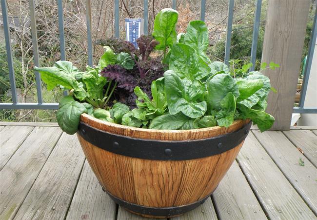 Ispanak  Soğuğa karşı dayanaklı bir sebze olan ıspanak tohumu ekilerek yetiştirilir. Ispanağı ekerken tırmıkla toprağı düzleştirdikten sonra, tohumları toprağın üzerine serpiştirerek ekim yapabilirsiniz.