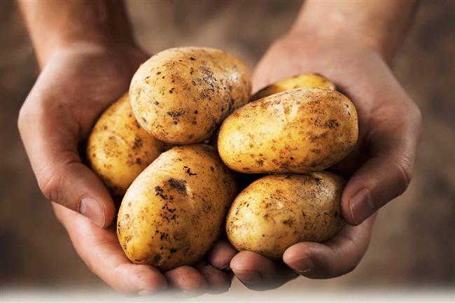 Patates   Patatesde ise soğuk ortamda şekerleşme meydana gelir. Hatta uzun süre durduğu taktirde bir şekerden daha tatlı hale geldiği de görülmüştür. Bu nedenle buzdolabında saklamamak gerekir.