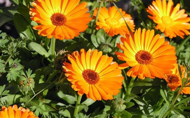 AKREP BURCU: Doğum haritasında Plüton gezegenin etkileri baskın ve yükselen burcunuz Akrep ise özellikle Plüton Güneş´ten ters açı alıyorsa, endokrin hormonu düzenli çalışmayabilir ve psikolojik kökenli hastalıklar görülebilir.  Bitkisi: Calendula   Bir bahçe çiçeğidir ve Akrep burçları için şifa kaynağı bir bitkidir. Çayı bir tutam kuru çiçek iki fincan kaynamış suda demlenerek içilebilir. Melisa yapraklarının da sulu özütünün uçuk virüsü üzerindeki antiviral etkisi ilk olarak çeşitli araştırma grupları tarafından etkili olduğu yönelik bilimsel araştırmalara yayımlanmıştır…