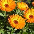 Burcunuza Göre Şifalı Bitkiler - 9