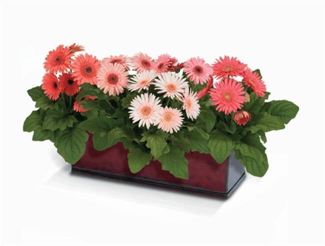 Gerbera    Uzun bir süre sadece çiçekleri için, dekoratif amaçlı yetiştirilen Gerbera, şimdilerde farklı bitkilerin de girdigi saksı kompozisyonlarında dikkati çeker biçimde yerini almış bulunuyor. Sigara içilen odalar için son derece uygundur, fakat bu bitkinin ömrü diğer yeşil bitkilere nazaran daha kısadır.