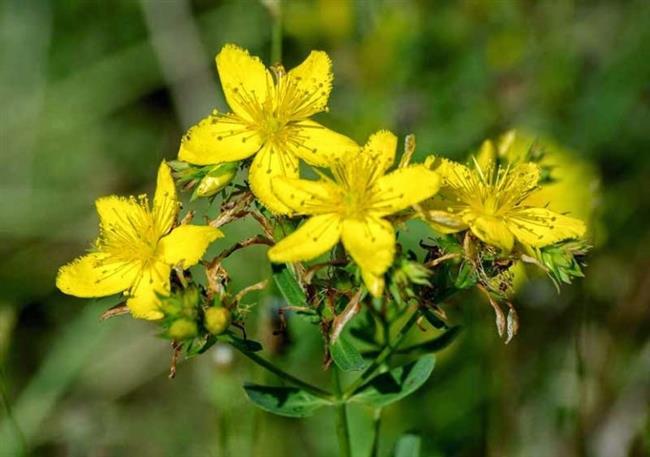 Sarı Kantaron Otu  Yapılan araştırmalara göre kantaron çiçeğinin hiç bir zararlı etkisi yoktur. Doğal olarak yetişen bu sarı mucize antideprasan olarak kullanıldığında depresyonun bir numaralı tedavi ilacıdır. İçeriğinde bulunan hiperisin beyin sinirlerini yumuşatarak kişiye rahatlık verir.