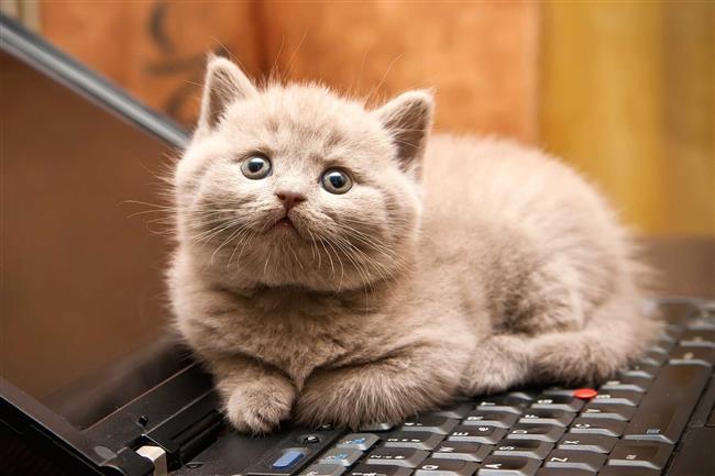 Yay Burcu Kedisi   Sıcakkanlı ve şirin bir kedidir. Hayat onun için bir macera gibidir. Çok az evde kalmak, zamanının çoğunluğunu dışarıda geçirmek isteyebilir. Seyahatlere götürülmekten çok hoşlanır. Arabaya binmekten, diğer kediler kadar rahatsız olmayabilir.    Özgürlüğüne düşkün olduğu için, çok fazla kısıtlamaya gidilmemesi gerekir. Son derece güçlü ve çevik bir kedidir. Esnektir ve olmadık yerlere sığabilir. Çok meraklıdır. Evde sürekli ortalığı karıştırabilir. Böyle zamanlarda, onu biraz dışarı bırakmak iyi bir fikir olabilir. Enerjisini harcayacağı oyunlardan, tırmanmaktan, minik bir topun peşinde koşturmaktan çok zevk alacaktır.    Yoğun temposu, evdekilerin başlarını döndürecektir. Yaşlı insanlar için bu kedi fazla hareketli olabilir. Sağlıklı bir kedidir. Ama en zayıf yeri karaciğeridir. Son derece hevesli ve samimidir. Küçük çocukların bir numaralı eğlencesi olacaktır. Kalabalık bir aile için ideal bir kedidir. Evdeki hemen herkesle uyum içerisindedir. Misafirlerden de hoşlanacaktır. Dışarı çıktığında, gözden çabuk kaybolacaktır. Çok uzak yerlere gidebilir. Bir müddet ortalıklarda görünmeyebilir. Geceyi dışarıda geçirebilir. Çok dışarı alıştığında, evde uzun süre vakit geçirmek istemeyebilir.   Evin içinde başka hayvanların olması isabetli olacaktır. Böylelikle onu eve bağlamak daha kolaylaşacaktır. Birşeyleri çiğnemekten hoşlanır, bu nedenle poşet, elektrik telleri ve bitki gibi şeyleri onlardan uzak tutmakta yarar vardır.