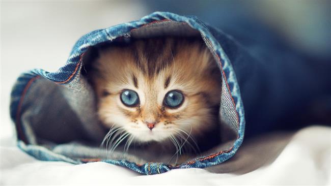 Yengeç Burcu Kedisi   İşte size tam bir evcimen kedi! Ailesine ve sevdiklerine çok düşkündür. Bu kedi için evi ile olan ilişkisi çok önemlidir ve sahibinin bunu asla unutmaması gerekir.    Dişi Yengeç'ler çok nazlıdırlar. Erkek Yengeç'ler de son derece sahiplerine düşkündürler. Dışarı çıkmak için fazla istek göstermezler. Bahçeli bir evde yaşıyorlarsa, o zaman bahçeye çıkabilirler. Yakın çevrede kendilerini güvencede hissedeceklerdir.    Bu kediye zaman ayırmak, onunla ilgilenmek gerekecektir. Çok hassas olduğu için, yeterli ilgiyi görmediğinde, çabuk alınır ve kırılır. Diğer kedilere göre güçlü bir hafızası vardır. Kendisine kötü davranıldığında bunu unutmaz ve affetmez. Sağlık açısından da çok narindir. Özellikle de duygusal bazlı hastalıklara yatkındır.    Ruh hali çok değişkendir. Yengeç kedisini tanımlamak ve anlamak zordur. Aşırı stres ya da aşırı heyecanlanma sonucunda fiziksel açıdan zayıf düşer. Midesi en hassas yeridir. Kavgacı değildir. Her türlü huzursuzluktan uzak durmaya çalışır. Hem çocuklarla, hem de yaşlılarla iyi anlaşabilir. Ama özellikle yaşlılar için tercih edilecek kedilerdendir. Sahibine çok sadıktır.    Sevilmek istendiğinde çok yumuşaktır. Korunup kollandığını hissetmek ister ve böyle olduğunda, kendisi de sevgide çok cömerttir. Dışarı çıktığında bile sahibini unutmaz. Bu kedi hiçbirşeyi hafif hissetmez, hisleri çok derindir. Ev değiştirmek gibi bir durumdan, ev sahiplerine nazaran daha fazla etkilenebilir. Ürkek ve çekingendir; sahiplenilmeye ihtiyaç duyar.