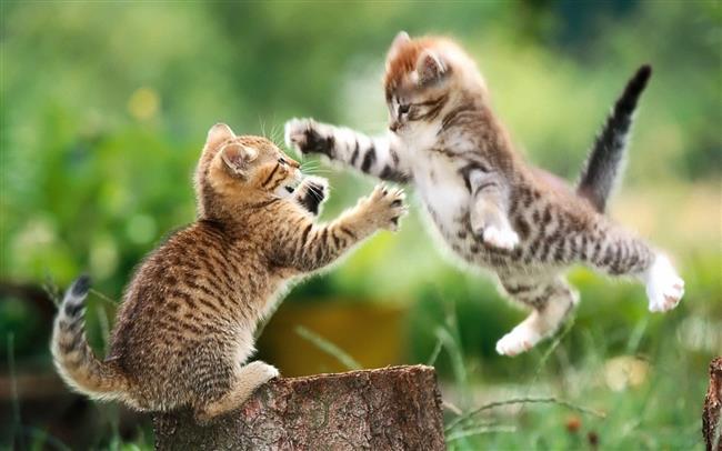 """İkizler Burcu Kedisi   Tam bir oyuncudur. Cıva gibi hareketlidir. Çok çeviktir ve küçük alanlarda bile çok çabuk hareket eder. Takip etmesi çok zordur. Ev içerisinde oradan oraya koşuşturan, bitmek bilmeyen enerjisiyle herkesin sempatisini kazanır.    Çok meraklıdır. Evde ondan bir şey saklamak neredeyse imkansız gibidir. Evdeki terliklerin, ayakkabıların içinde gezinecek, dolapları karıştıracaktır. Ortalık karıştırma merakı sadece evle de sınırlı kalmaz. Ev dışında da olmak ister ve dışarı çıktığında, olmadık yerleri karıştıracaktır. Onu yan bahçede, komşunun çamaşır sepetinin içerisinde, kömürlükte ya da bir çöp konteynırını karıştırırken bulabilirsiniz. Ama mutlaka yakın çevrede olacaktır. Dışarıda kötü şeylere bulaşmayacak kadar zekidir.    Etraftaki kedilerle iyi geçinir. Zarar göreceğini hissettiği ortamlardan hemen uzaklaşır. Bu kedinin kendi derdini anlatma yeteneği, diğer kedilere nazaran çok daha güçlüdür. Kimden ne isteyeceğini çok iyi bilir. Yemek istediğinde, dışarı çıkmak istediğinde, temizlenmek istediğinde, derdini çok iyi anlatacaktır.    Yaşlılara göre fazla hareketlidir. Ama evdeki çocuklarla çok iyi anlaşacaktır. Yeni evli bir çiftin almak isteyecekleri türden bir kedidir. Eve hareket ve neşe katacaktır. Ama bazı zamanlar depresif de olacaktır tabii. Özellikle de dışarı çıkması engellendiği zaman çok sıkılacak ve bunu belli edecektir. Gergin davrandığı zamanlar da, işte tam bu zamanlardır.   <a href=  http://mahmure.hurriyet.com.tr/foto/yasam/kediseverler-icin-en-guzel-34-kedi-dovmesi_40867  style=""""color:red; font:bold 11pt arial; text-decoration:none;""""  target=""""_blank""""> Kediseverler İçin En Güzel 34 Kedi Dövmesi"""