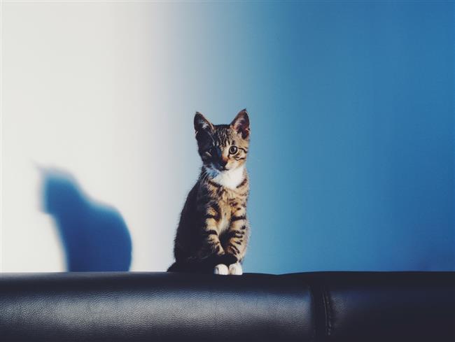 Akrep Burcu Kedisi   Sahibine adeta tutkuyla bağlı bir kedidir. Onunla adeta telepatik bağ ile bağlıdır. Sanki ne yapacağını önceden sezer gibidir. Başkalarının sahibine fazla ilgi göstermesinden rahatsız olabilir.    Bu kedi evin gizli patronudur adeta. Sanki fark ettirmeden, evdeki işleri o idare ediyor gibi gizemli ve sihirli bir havası vardır. Her zaman yattığı kanepesi, üzerine çıktığı sandalyesi, kenarına oturduğu cam pervazı sadece onundur. Oraları başkasının kullanmasından asla hoşlanmayacaktır.    Bu kedinin tam olarak ne beklediğini anlamak zordur. İsteklerini çok fazla hareketleriyle göstermeyebilir. İhtiyaçlarını sezmeyi, sahibinden bekleyecektir. Çok hassas ve gururludur. Azar işittiğinde, bir müddet ortalıkta gözükmeyebilir. Her zaman sahibinin isteğine göre hareket etmez. Bunu ancak kendi istediğinde yapacaktır.    Serinkanlıdır ve çok hızlı hareket etmez. Tepkisini hemen göstermez. Kızdığında ise, çekinilmesi gereken bir güç haline dönüşebilir. Evde yaşayan diğer kedilere veya dışarıda rastladığı kedilere karşı da böyledir. Kendi gücünün farkındadır, ama bunu açıkça göstermez. Kendisine daha önceden yapılmış şeyleri unutmaz ve yeri geldiğinde ödeştirmesini iyi bilir. Sempatik değildir, ama gizemli bir güzelliği vardır.    En zayıf bölgesi üreme ve boşaltım organlarıdır. Sağlıklı olmasına rağmen, hastalandığında çabuk güç kaybeder ve bu yüzden hastalığı ciddiye alınmalıdır. Hasta olduğunda şefkat ve ilgi bekler. Ama bunu belli etmez. Beklediği ilgiyi görmediğinde, çok kırılacaktır.    Sahibinin hislerine karşı çok duyarlı olduğundan, kendisi de aynı şeyi bekleyecektir. Kalabalık bir ailede, fertlerden bir tanesini seçecek, en çok onunla diyaloga geçecektir. Fazlasıyla sadıktır. Sevdiğini çok sever, sevmediği kişinin yanına bile gitmez.