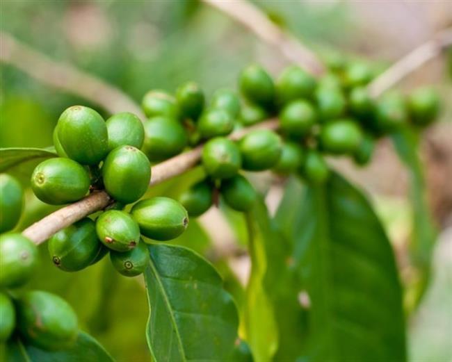 """""""Diabetes, Metabolic Syndrome and Obesity adlı dergide yapılan en yeni araştırma ise, 12 hafta süresince Green Coffee Bean kullanan 16 yetişkin üzerineydi. Çalışmanın devamı boyunca deneklerin her biri belli oranlarda kilo kaybı yaşadı. Zayıflatmasının yanına şeker hastalığı üzerindeki etkileri de ses getiren yeşil kahve çekirdeği dünyanın en büyük bilim topluluğu American Chemical Society tarafından da tavsiye ediliyor.   Yapılan açıklama ise içerisinde yüksek miktarda klorojenik asit bulunduran yeşil kahve çekirdeğinin kan şekeri düzeyini kontrol etmeye yardımcı olduğudur. Bu şu anlama gelir, bu kontrol sayesinde şeker hastalığı önlenebilmektedir. Bunların dışında zayıflamayı da başarı ile sağlar."""