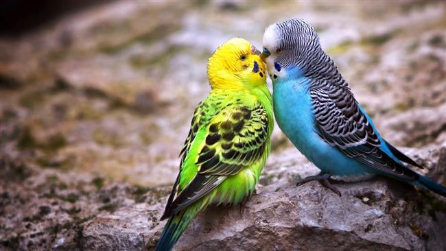 """Hayvanlar da öpüşür   Tam olarak insanların öpüşmesi gibi olmasa da bazı hayvanlar da öpüşmeyi sevgi gösterme yolu olarak kullanıyor. Örneğin şempanzeler büyük bir kavga sonrası """"öpüşüp barışırken"""", filler zor durumlarda birbirlerinin hortumlarını sararak birbirlerini teselli ediyorlar. Sincaplar ise birbirlerini tanımak için koklaşarak öpüşüyorlar."""