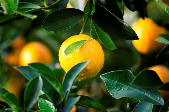Limon     Birkaç damla limon suyunu elinizi damlatın ve ardından koltuk altınıza sürün. Oldukça etkili bir çözümdür.