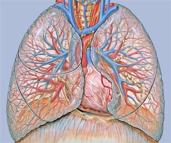 İnsan vücudundaki tüm kan damarlarının toplam uzunluğu yaklaşık 100 bin km'dir.  Vücudumuzda dolaşan damarların toplam uzunluğu 96 bin kilometreyi buluyor. Bu mesafe ile Dünya'yı neredeyse üç kez baştan sona dolaşabilirsiniz!  Yüzünüzü kızarırken, mideniz de kırmızıya dönüşür.  İnsan akciğerlerinin yüzey alanı yaklaşık olarak bir tenis kortunun alanına eşittir.
