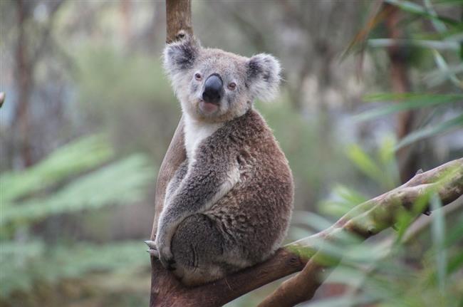 Sadece insanların değil, aynı zamanda koalaların da benzersiz parmak izleri var.