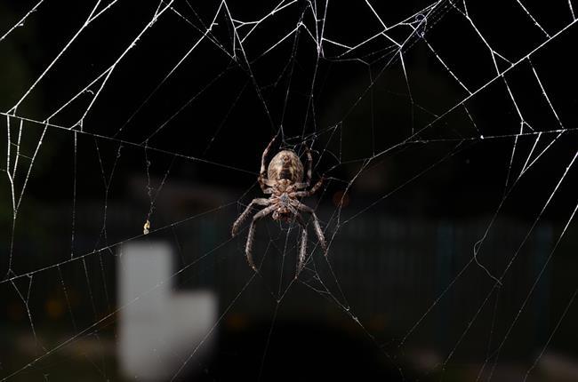 Ömürleri boyunca, bir kişi ortalama olarak yanlışlıkla sekiz küçük örümceği yutacak.