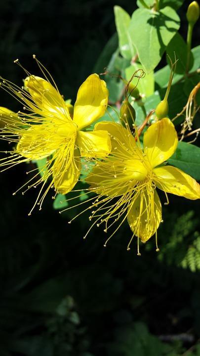 Sarı Kantaron:  Bazen depresyon olan insanlara yardımcı olmak için kullanılan bitkisel ilaçlar, kullandığınız ilaçların etkisini azaltarak karaciğer enzimlerinizin değerlerini etkileyebilir.