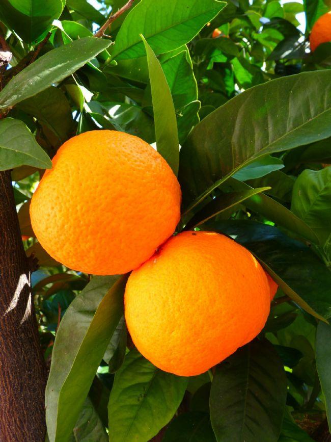 8-PORTAKAL  C vitamini ve folik asit kaynağı olan portakal, bağışıklık sistemini güçlendirir ve kansızlığa iyi gelir. Ateş düşürücü, iştah açıcı, kan durdurucu, kramp çözücü, sindirim kolaylaştırıcı, safra söktürücü, uyku verici, solucan düşürücü özellikleri vardır.
