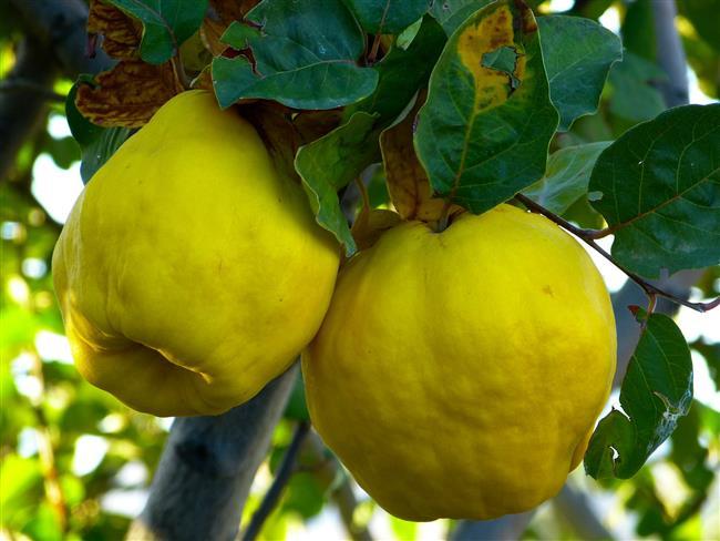 2-AYVA  Ayva özellikle kışın üşütüp ishal olunduğunda ilk sarılınacak meyvedir. Akciğer veremine ve ağız yaralarına iyi gelir. Zindelik verir. Çekirdekleri yoğun pektin içerdiği için ishal önleyici olarak kaynatılıp suyu içilebilir. Bronşit, müzmin öksürük ve verem tedavisinde kullanılır. Ayva damar sertliğine, karaciğer tembelliğine iyi gelir, tansiyonu düşürür, safrayı düzene sokar. Yapraklarının çayı kalp ağrılarına iyi gelmekte, sakinleştirici özelliği bulunmaktadır.